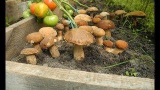 Вот почему в лесу,растут белые грибы!!!