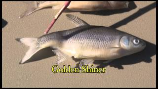 Identifying Juvenile Asian Carp