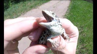 Можно ли ловить ящериц на даче