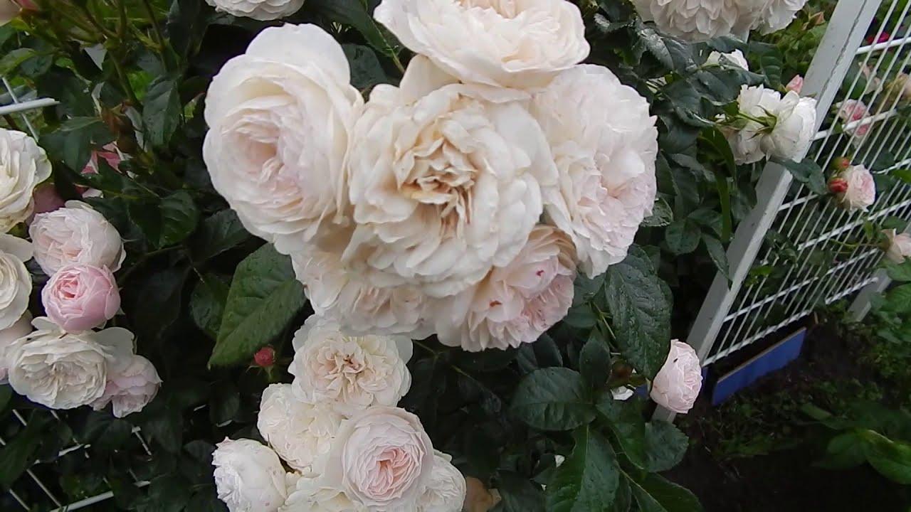 Роза Bouquet Parfait (Lens, 1989)сад 2019
