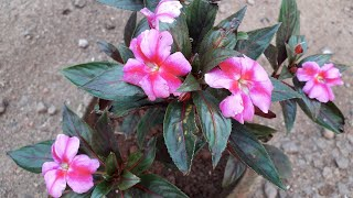 New Guinea impatiens care in malayalam