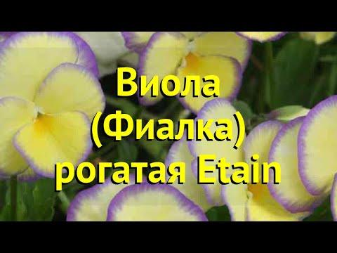 Виола рогатая Итейн. Краткий обзор, описание характеристик, где купить рассада viola pubescens Etain