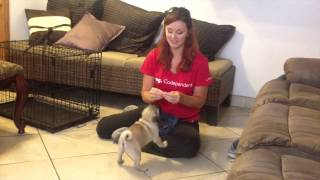 How to Train a Puppy to Sit - First steps