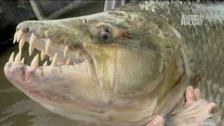 River Monsters Goliath Tigerfish