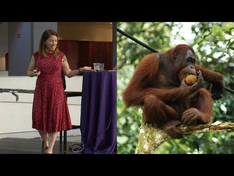 Orangutans, Obesity, and Human Evolution – AMNH SciCafe