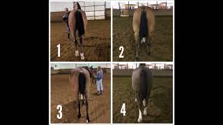 Arabian Geldings at Halter Judging Practice Video