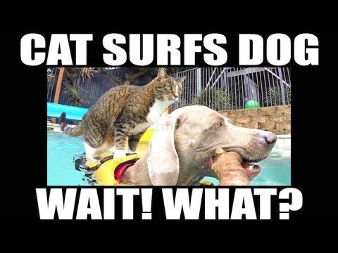 CAT Surfing on Swimming DOG