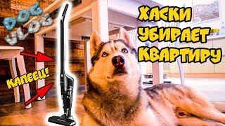 DOGVLOG: ХАСКИ УБИРАЕТ КВАРТИРУ. Говорящая собака