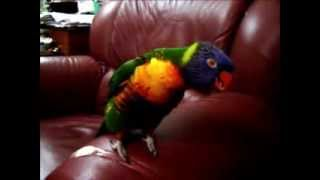 Our Rainbow Lorikeet singing and dancing