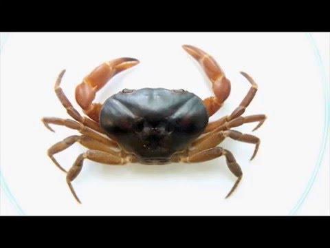 Plantean cambio en taxonomía de cangrejo de agua dulce - Universidad Nacional de Colombia