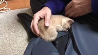 何度も膝の上に戻ってくる子猫に癒される It is healed by the kitten of the spoilt child   Kholo.pk