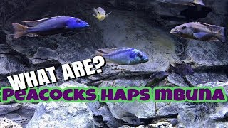 What are Peacock And Haps | Difference Between Peacocks, Haps, Mbuna #HAPNATION