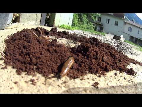 Pinworm tojások láthatóak