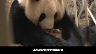 2016ジャイアントパンダ赤ちゃん誕生