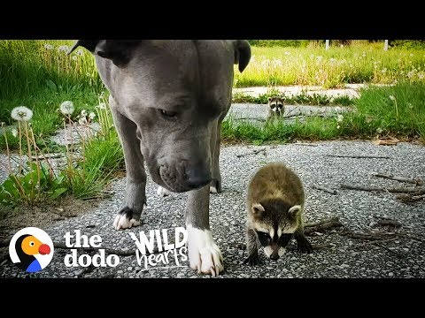 Baby Racoons Adopted by a Dog
