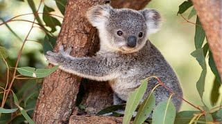 Funny Koala Bears 🐨 Cute Koalas Playing [Funny Pets]