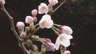 東京都心の桜開花気象庁が靖国神社で確認 動画キャプチャー