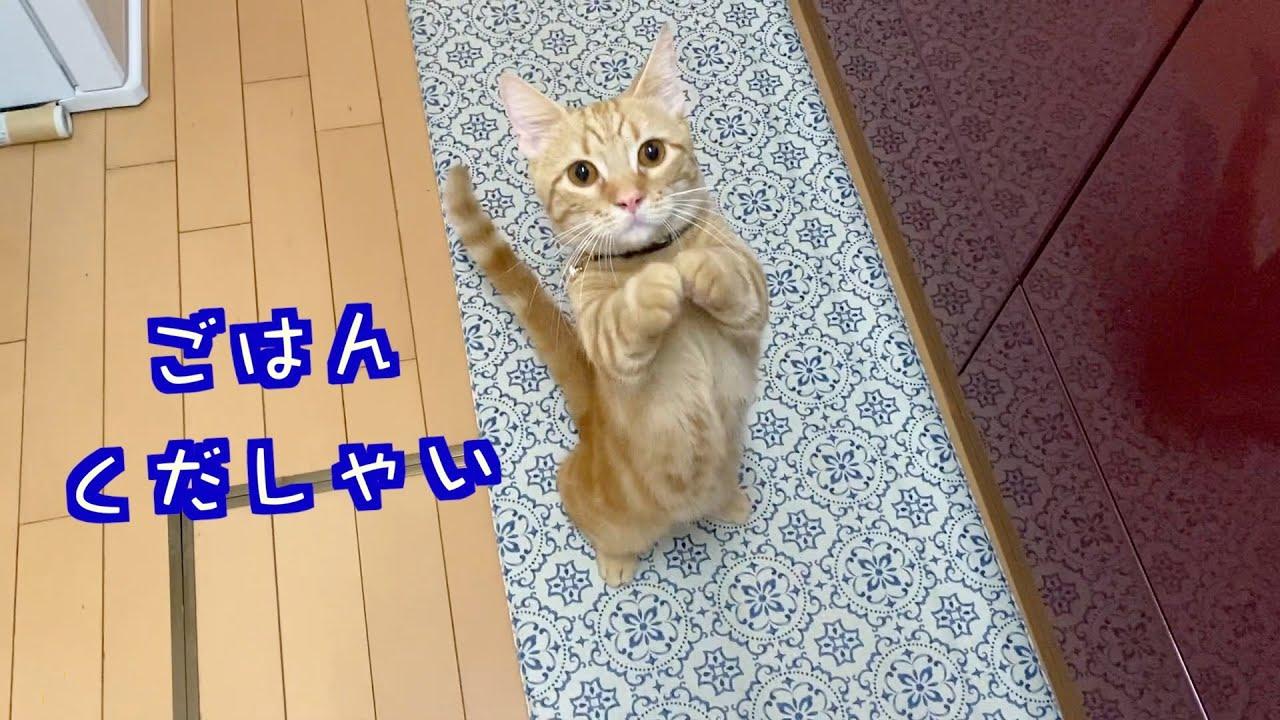 おねだりが上手な短足猫が可愛い【スコティッシュフォールド・マンチカン】