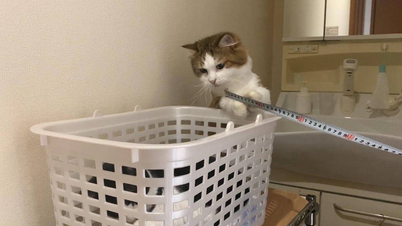身長を測られるのを阻止する猫 【今日のひのき猫】