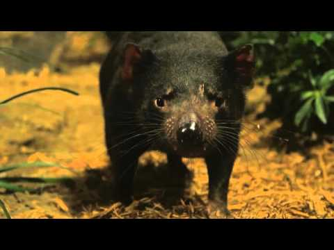 Tasmanian Devils in New Exhibit