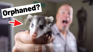 Orphaned Baby Possum - What now? What do do with and care for orphaned baby opossum