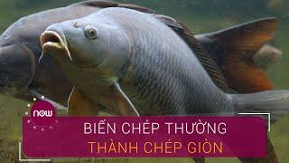 Làm giàu không khó: Biến cá chép thường thành chép giòn | VTC Now