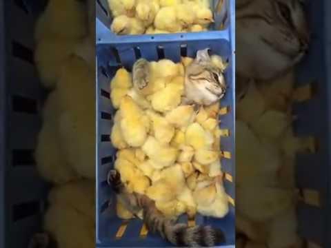Gatos e pintinhos amarelinhos