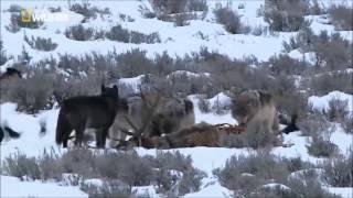 Documental: Legado del lobo negro