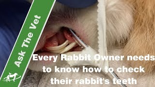 Every Rabbit Owner needs to know how to check their rabbit's teeth- Companion Animal Vets