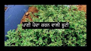 Pani Paida Karan Wali Booti | ਪਾਣੀ ਪੈਦਾ ਕਰਨ ਵਾਲੀ ਬੂਟੀ |