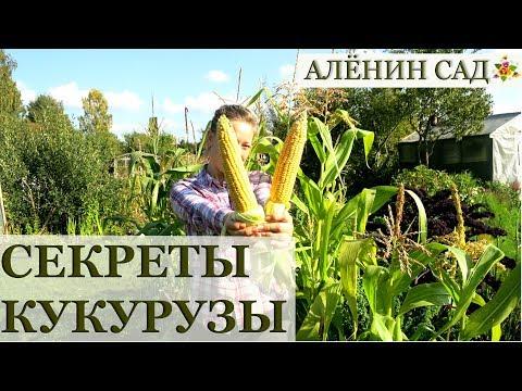 КУКУРУЗА все секреты выращивания! / Как выращивать кукурузу