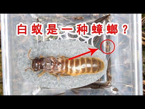 白蟻其實更接近蟑螂?
