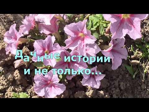 Выращивание петунии в кашпо на балконе и на клумбе