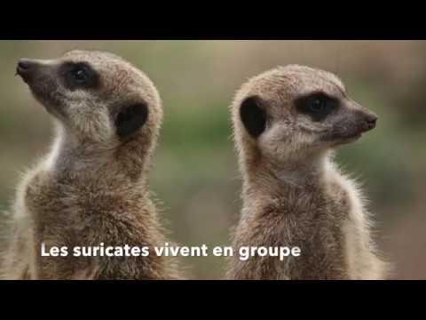 Boîte en carton vs bande de suricates !