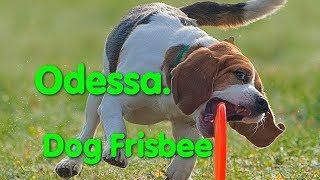 Dog Frisbee Odessa. Ролл точность. Дог фрисби. Спорт с собаками. Тарелка для собак. VLOG DOG. Puller