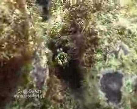 Fangschreckenkrebse, Similan Islands,Thailand