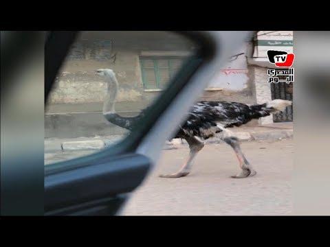 «نعامة».. أحدث صيحات «الكيكي» في أحد شوارع فيصل