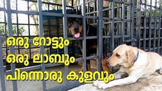 Rottweiler and a labrador dog I dog farming kerala I ഒരു റൊട്ടും ഒരു ലാബും പിന്നെ ഒരു കുളവും
