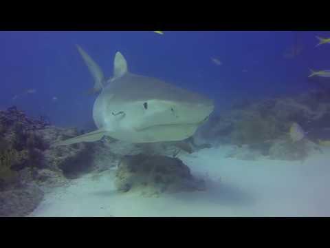 Florida/Bahamas 2015 - Bahamas (Tiger Beach & Bimini), Tiger Beach,Bahamas