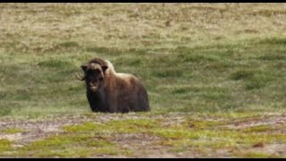 DEATH CHARGED by Musk Oxen - The Arctic Odyssey Episode 11 (Hommes Du Nord 2017) Elk - Thelon Rivers