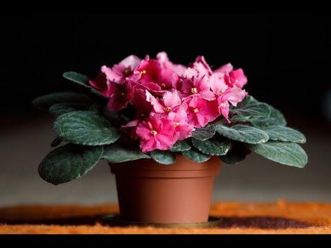ШЕСТЬ подкормок для лучшего цветения комнатных ФИАЛОК | Удобрение для СЕНПОЛИЙ