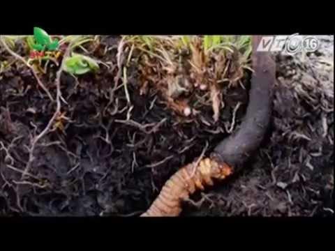 Đông trùng hạ thảo công dụng và nguồn gốc ra đời