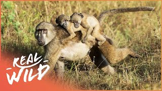 Baboon Royal Baby Gets Kidnapped | Valley Of The Golden Baboons | Wild Things Shorts