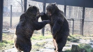 Wildwood's rescued bears meet for first time & a 'bromance' blossoms