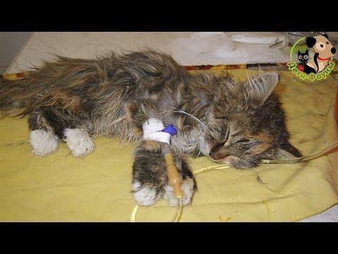Панлейкопения (кошачья чумка). Симптомы, пути передачи, лечение