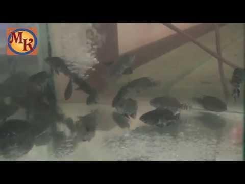Video ikan oscar masih kecil