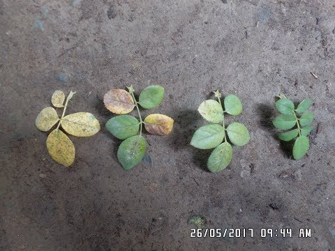 Video Nitrogen deficiency symptoms in rose