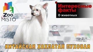 Китайская хохлатая пуховая - Интересные факты о породе  | Собака породы китайская хохлатая пуховая