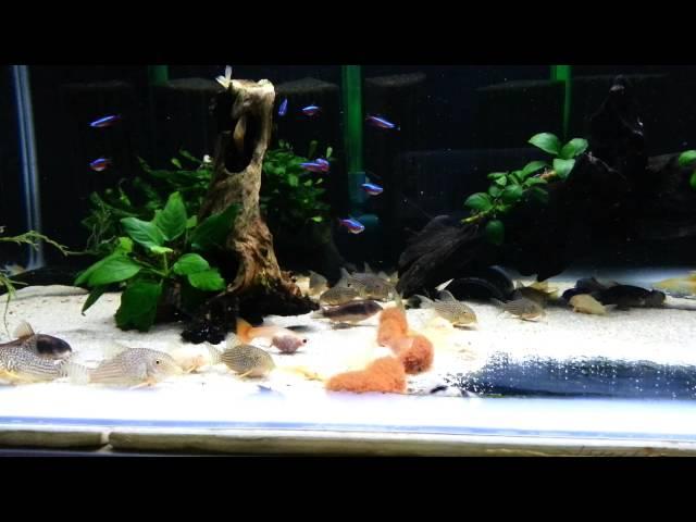 tubifex in corydoras tank