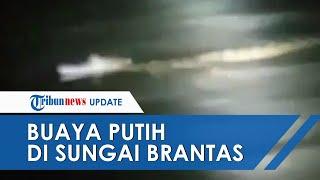 Viral Video Penampakan Buaya Putih di Sungai Brantas, Panjang Tubuh Sekitar 2 Meter
